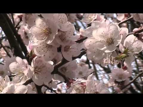 Вячеславий.  Весенние цветы.  Автор и исполнитель песен.