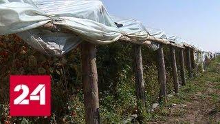 Спецоперация под Волгоградом: нелегалов искали в тепличных джунглях - Россия 24
