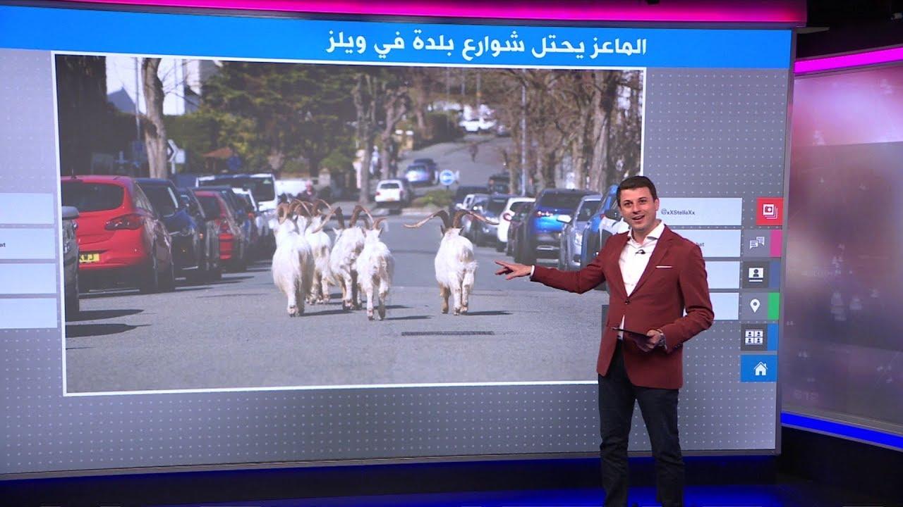 اختفى الناس فاحتل الماعز الشوارع في ويلز!