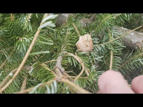 Katie Sommers Radio Network - Officials Warn People To Check Christmas Trees For Praying Mantis Eggs