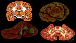 Neuroanatomie - Le cervelet