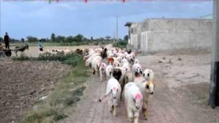 goats farm in pakistan-Gujranwala  .wmv