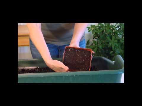How To Plant Colocasia