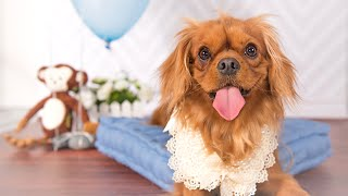 Cavalier King Charles Spaniel - C.s.ling Photography Classic Studio Session