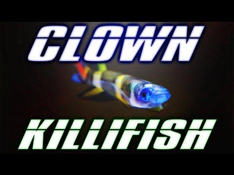 Clown Killifish Care Guide