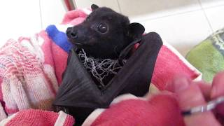 助けてもらえるのがわかってるんだね。網に絡まったコウモリが無事救出されるまで