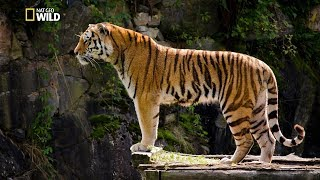 Video Asian Big Cats - Tigers Revenge [National Geographic Documentary HD 2017] download MP3, 3GP, MP4, WEBM, AVI, FLV Oktober 2019