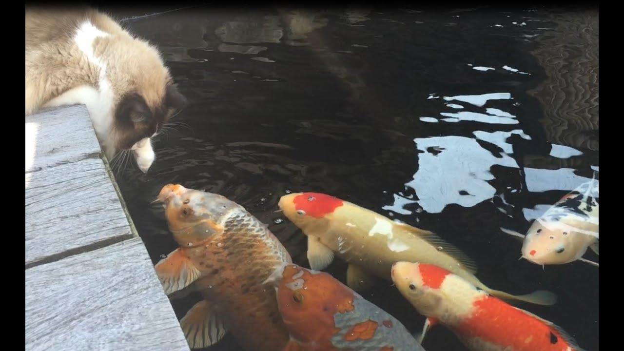 cute koi fish