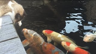 Cat & Koi Love Bread, Cute Interaction!