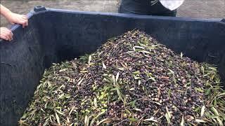 The olive harvest   2019