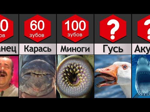 Сравнение: Зубы животных
