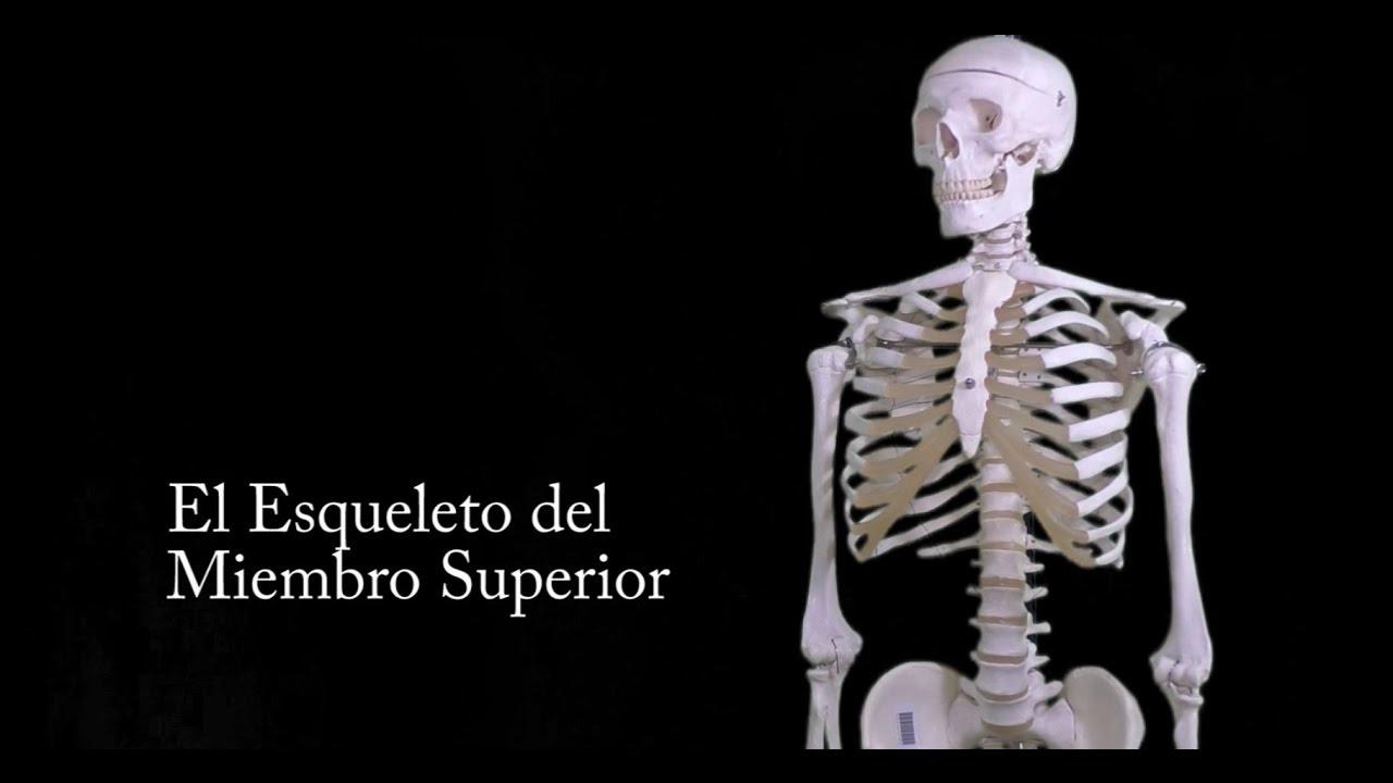 Esqueleto del Miembro Superior - YouTube