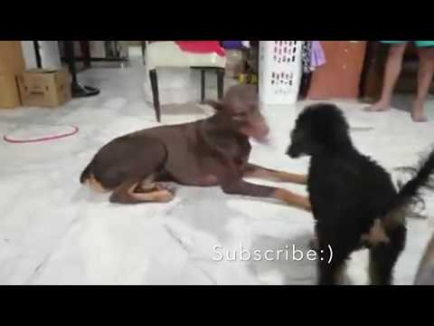 Vicious Doberman Attacking A Toy Poodle :)