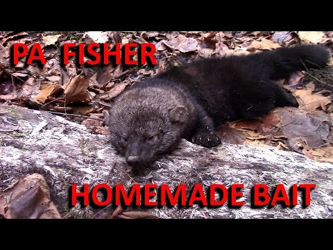 PA Fisher Trapped On Homemade Bait (Bonus Coon Catches)