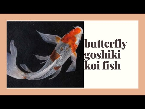 Awesome beautiful goshiki butterfly koi fish