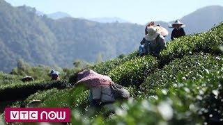 Nghề hái chè của người Việt tại Đài Loan | VTC10