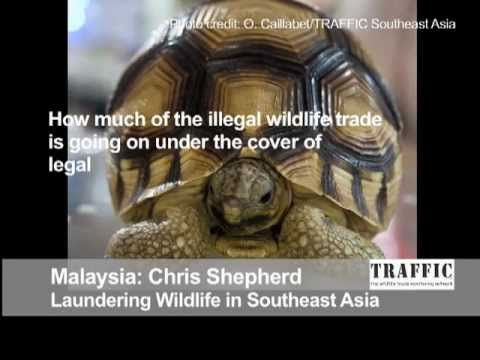 Laundering Wildlife in Southeast Asia: Behind the Schemes, Episode 6