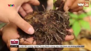Ma Trận Sâm Ngọc Linh Giả  - Tin Tức VTV24