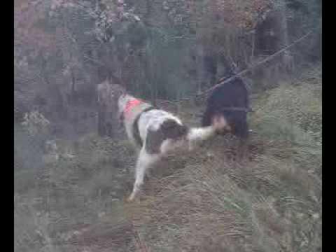 Entrenamiento perros para jabali gran persecucion a - Cercados para perros ...