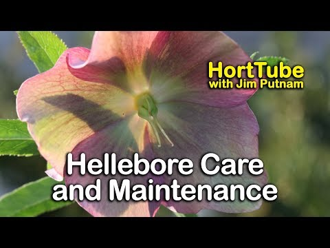 Hellebores Care and Maintenance - Lenten Rose