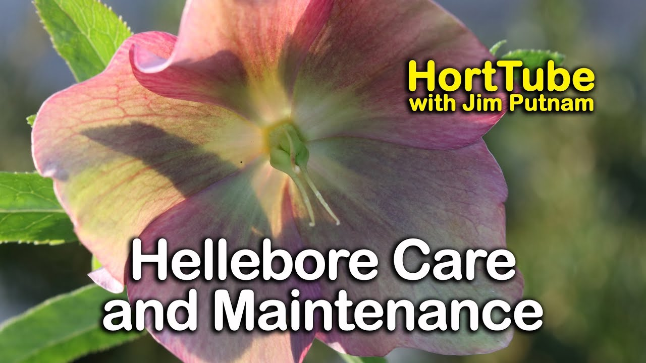 Hellebores Care And Maintenance Lenten Rose Youtube
