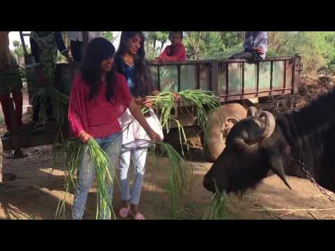 gujarat mordan yong girl  Buffalo work live video