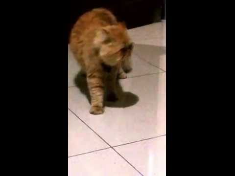 Male cat singing to attract female, Funny!! (Cat opera)