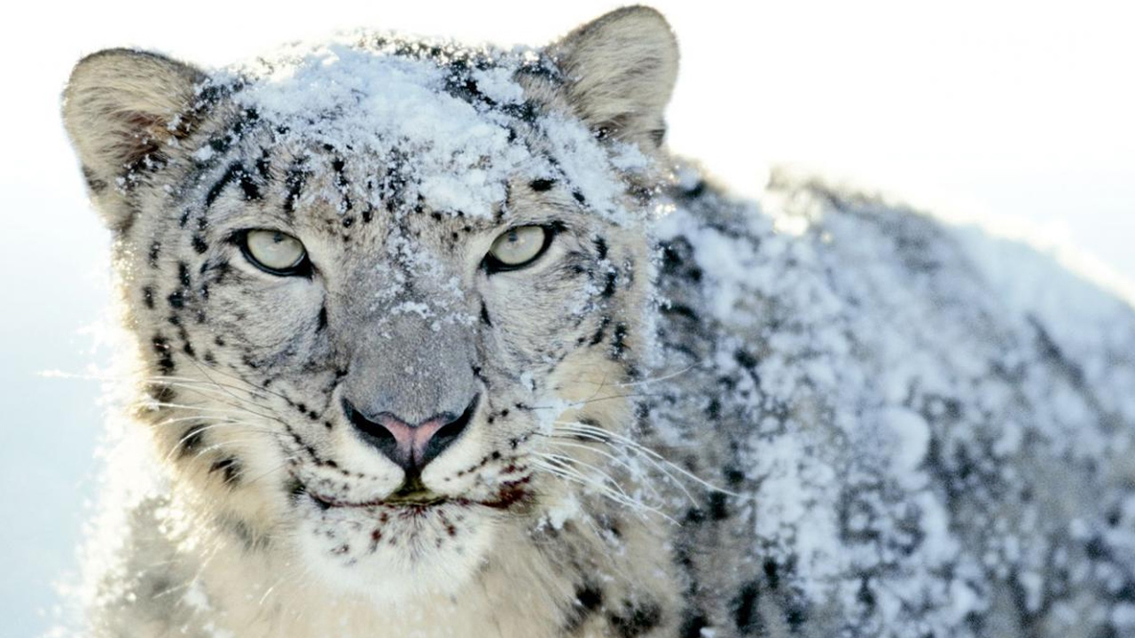 Download L'incroyable léopard des neiges (vidéo rare) - ZAPPING SAUVAGE