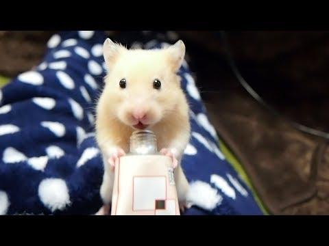 立ち食いプロテインの可愛さは異常!おもしろ可愛い癒しハムスターThe cuteness that a Funny hamster eats a protein is special