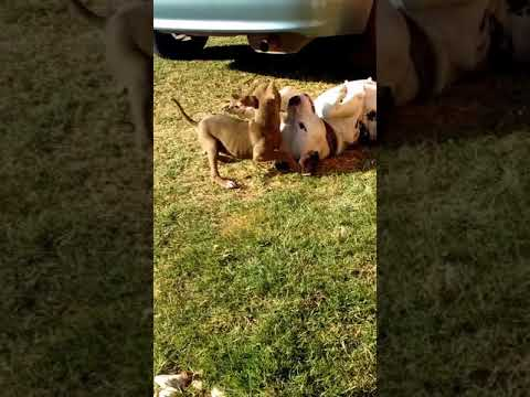 Pit bulls South Africa