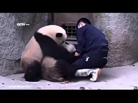 Приколы с пандами