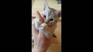 Редкая порода. Бенгальский кот розетка на серебре. Вирсику 2 месяца. 猫