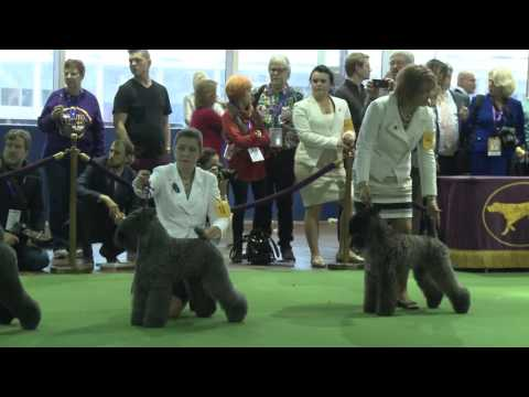 Kerry Blue Terrier Westminster Kennel Club Dog Show 2016