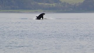 Killer whales 'put on a show' at River Clyde