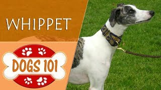 Dogs 101  WHIPPET  Top Dog Facts About the WHIPPET