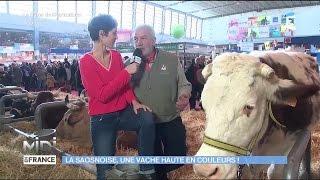 ANIMAUX : La Saosnoise, une vache haute en couleurs