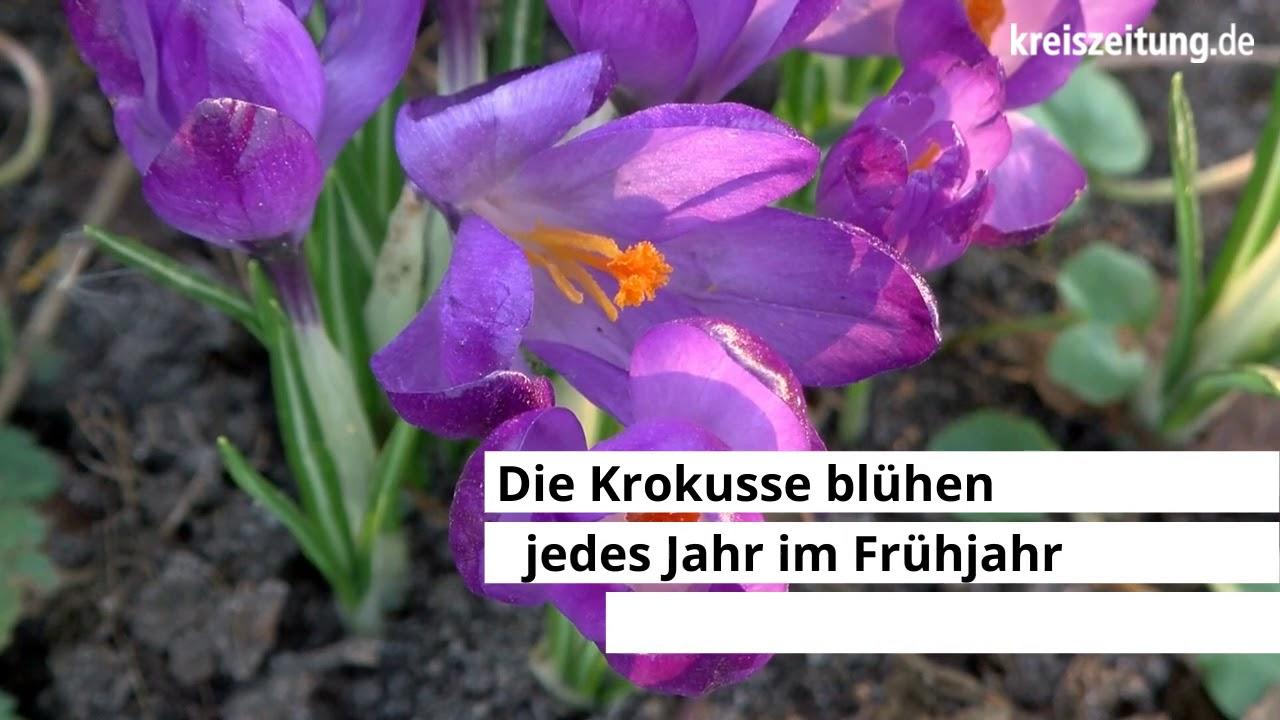 21 Million Krokusse blühen in Bremen Oberneuland.