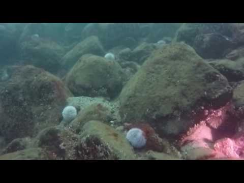 Diving Dunbar Harbour 3 Sept 2016 tube1