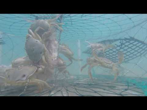 What Goes On Inside A Crab Trap?