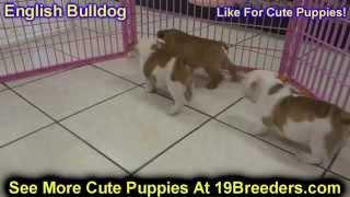 English Bulldog, Puppies,for,sale, In,orlando Florida, Fl, Deltona,melbourne,palm Coast,