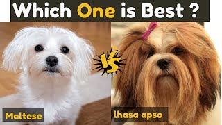 Lhasa Apso vs Maltese - Which One is Better ?