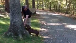 "5 Month Old Sussex Spaniel ""lincoln"" Come To Heel And Touch"
