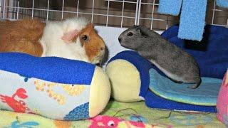 C&C Cage Set Ups: The New Guinea Pig Couple