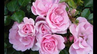 Jak ciąć róże na wiosnę - video-por...