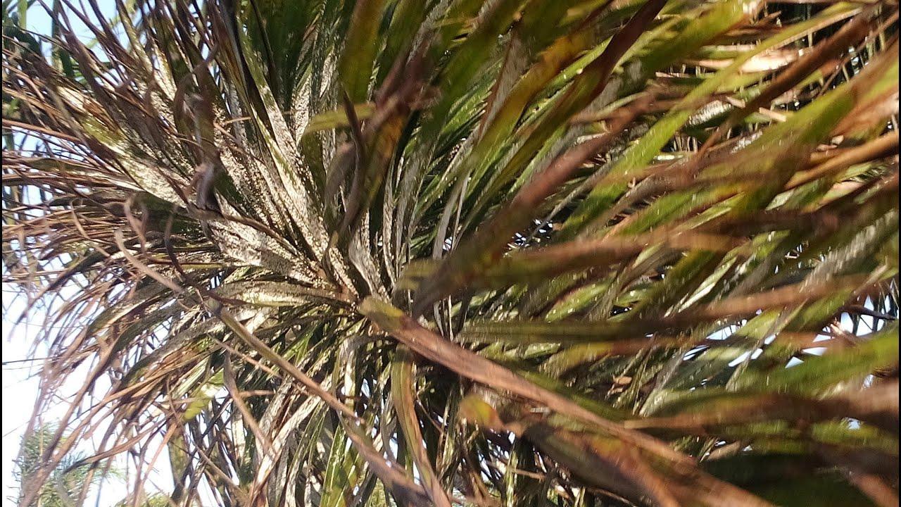 El pulg n arrasa con las palmeras de vecindario youtube - Gran canaria tv com ...