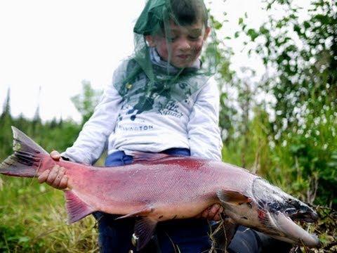 Sockeye & King Salmon, Rainbow Trout - Gulkana River Alaska - Lachse Angeln In Alaska