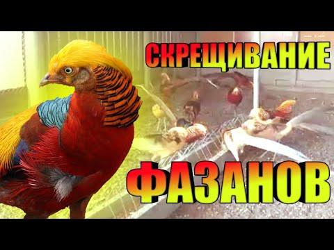 Меж видовой Скрешивание фазанов