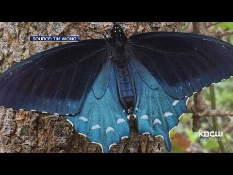 Academy of Sciences Biologist Reviving Rare Butterfly In Native San Francisco Habitat