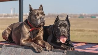 Cane Corso  Great Family Guardian