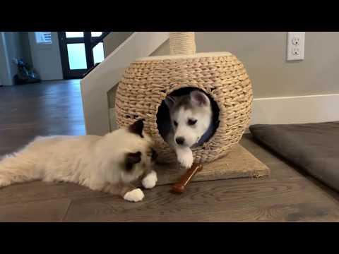 Ragdoll kitten meets 6 week old baby Husky puppy